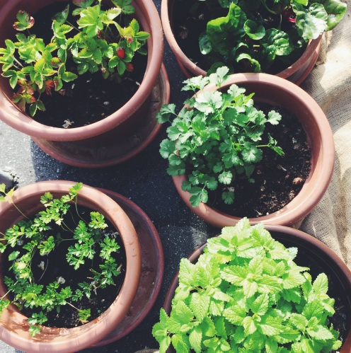 Zelišča iz domačega balkona (melisa, meta, koriander, peteršilj)