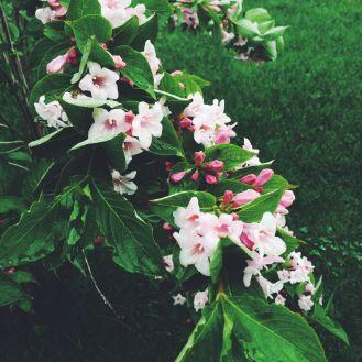 roze1