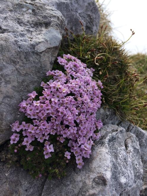Blazine gorskega cvetja